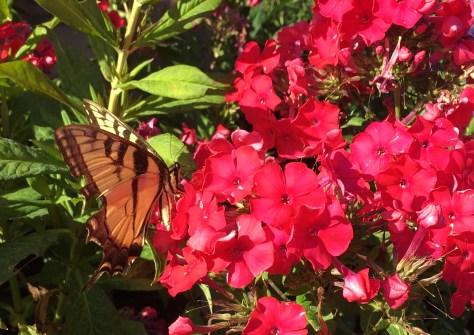 Great Swallowtail Butterfly enjoying Miss Mary Garden Phlox