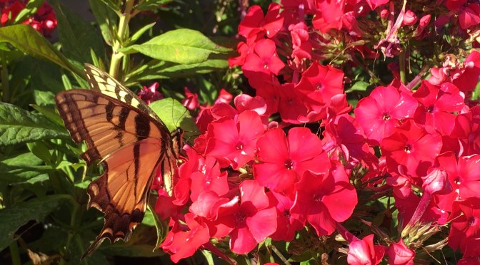 Great Swallowtail Butterfly enjoying Miss Mary Garden Phlox