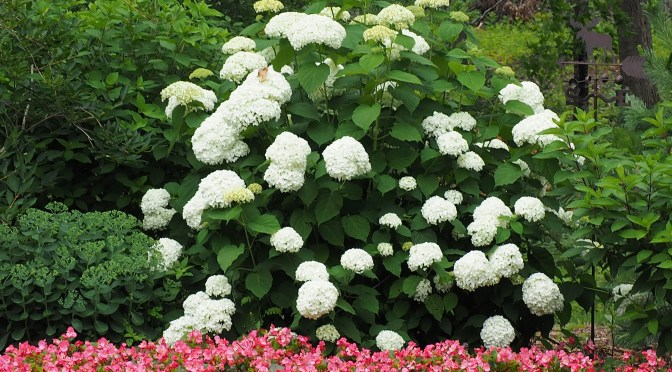 It's Hydrangea time!!
