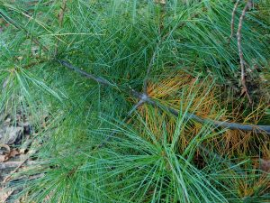 Browning of Needles on Evergreens