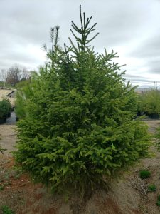The Norway Spruce