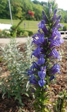 Lobelia siphilitica in rain garden
