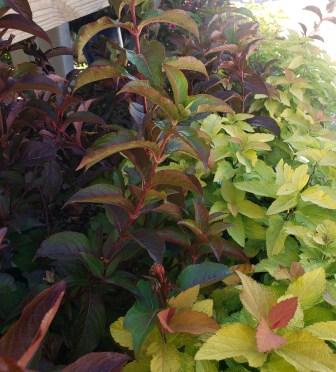 fall color shrubs