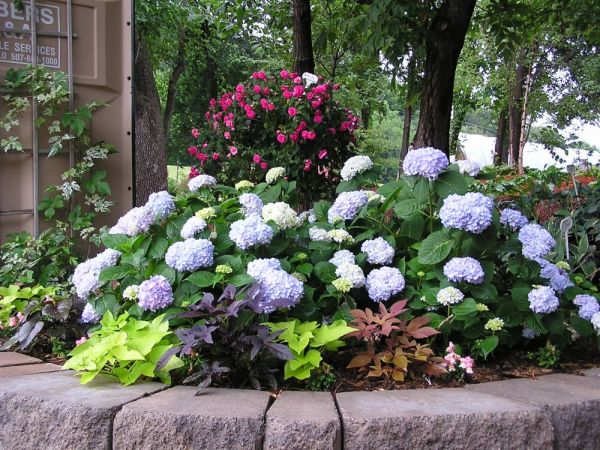 endless summer hydrangea and