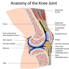 Movements Allowed By Synovial Joints Diagram Chinese Atv Wiring 50cc Knee Structure And Functions Of Each Element Kneesafe