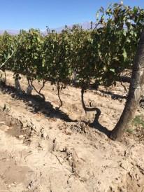 Bodega Teho (Alejandro Sejanovich & Jeff Mausbach), old vine field blend