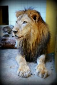 Leeuw King (20) overleden