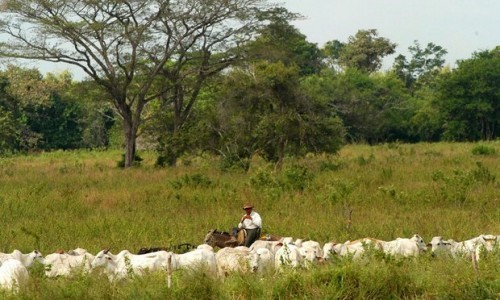 Cattle are mustered on the Vestey Grou's El Charcote property in in the state of Cojedes, Venezuela – one of the ranches nationalised by Hugo Chávez. Photograph: Chico Sanchez/EPA