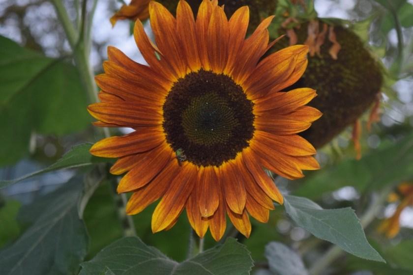 sunlower3 (1024x683)