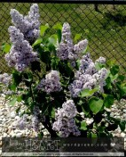 lilac bush-5