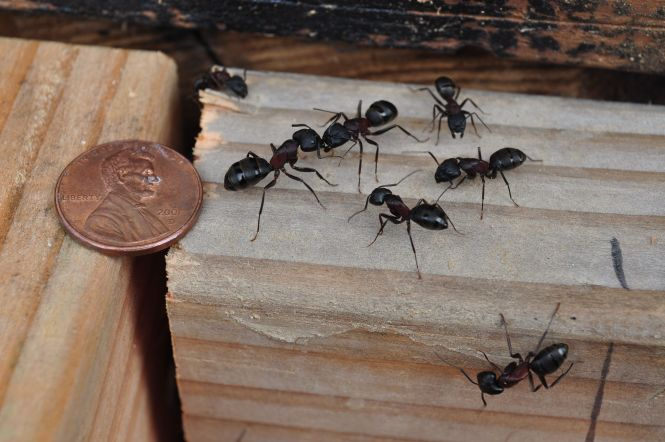 Pictures Of Carpenter Ants Damage