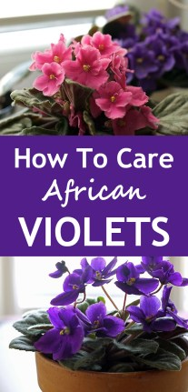 How To Care For African Violets