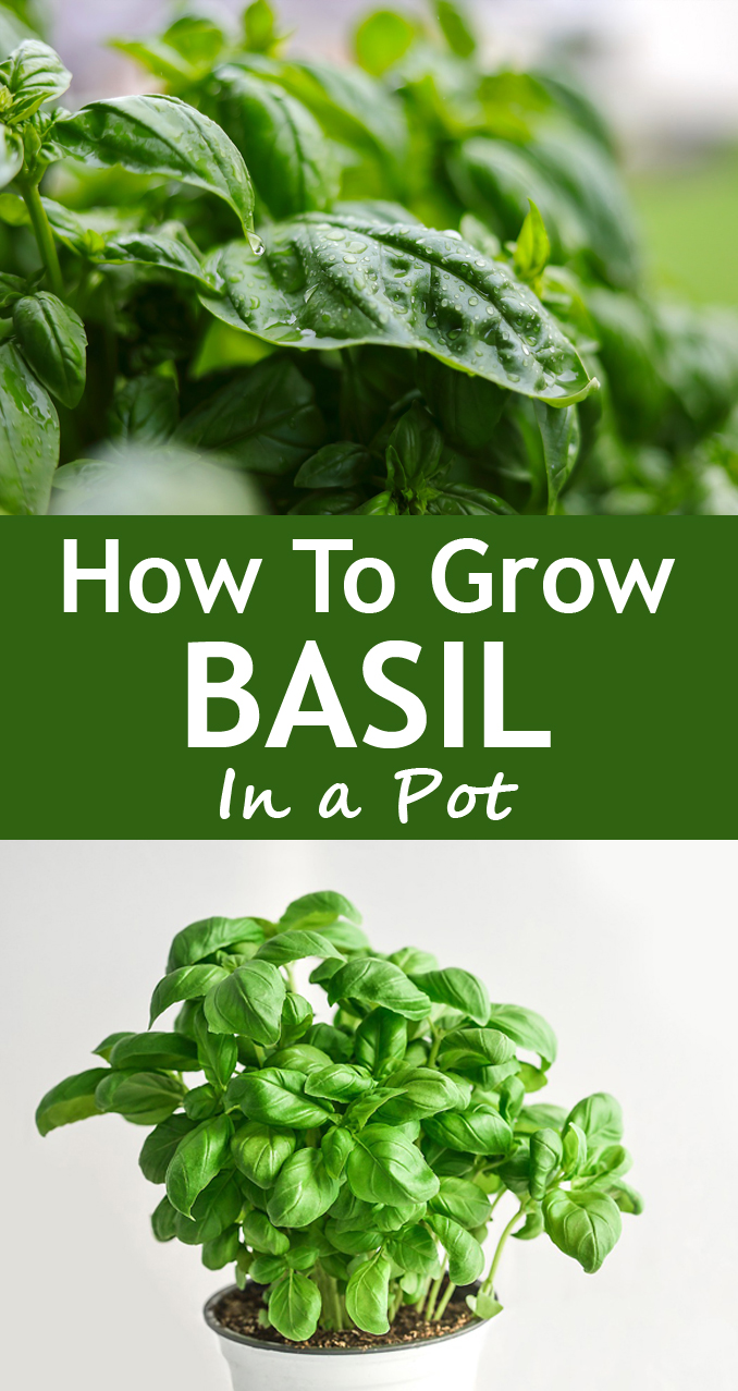 How To Grow Basil In A Pot