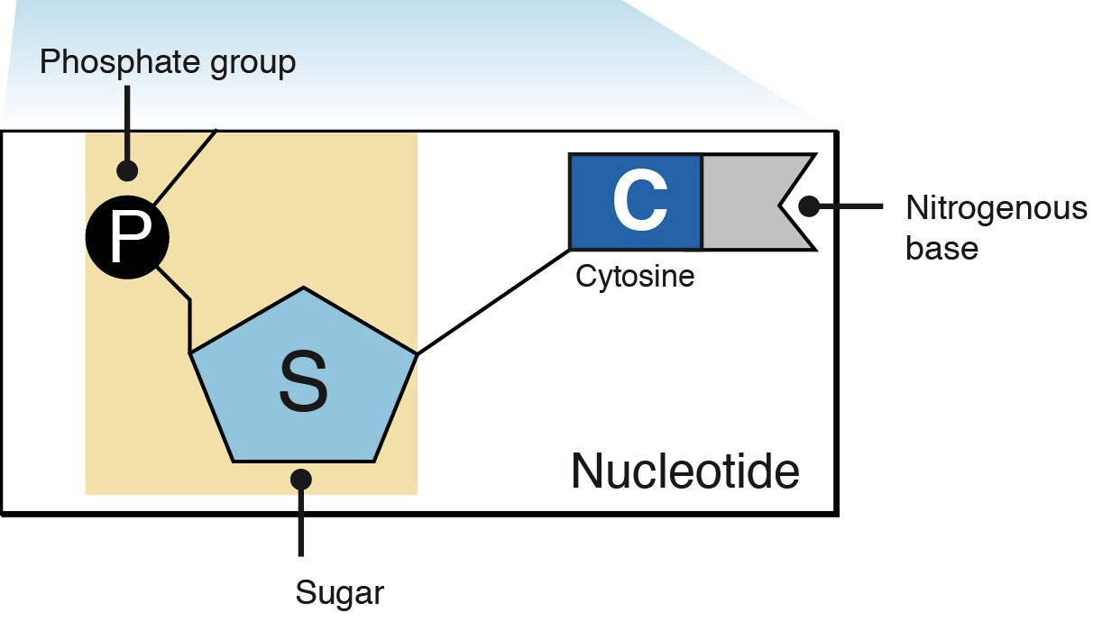 hight resolution of nucleotides and bases