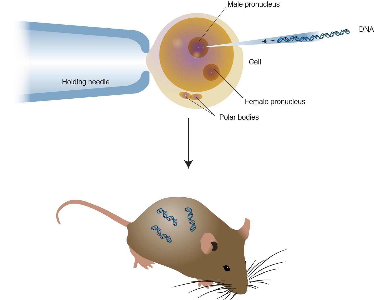 hight resolution of transgenic organisms image