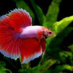 betta splendens siamese fighting fish