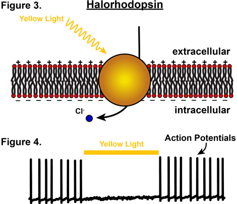 Halorhodopsin by Knowing Neurons