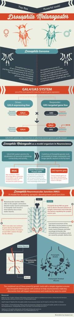 Drosophila by Knowing Neurons