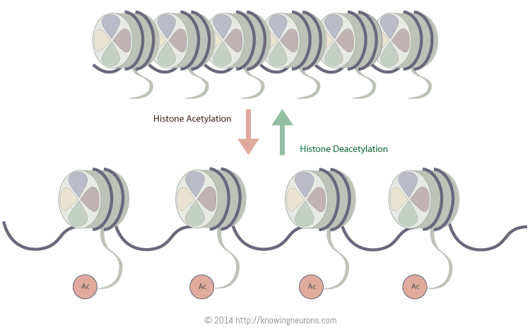 Histone Acetylation Knowing Neurons