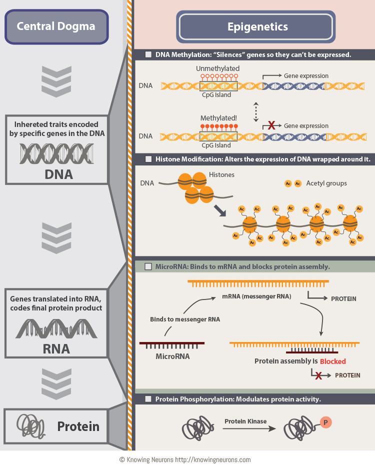 Epigenetics by Knowing Neurons