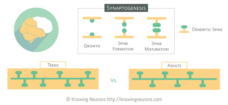 Synaptogenesis_Knowing-Neurons