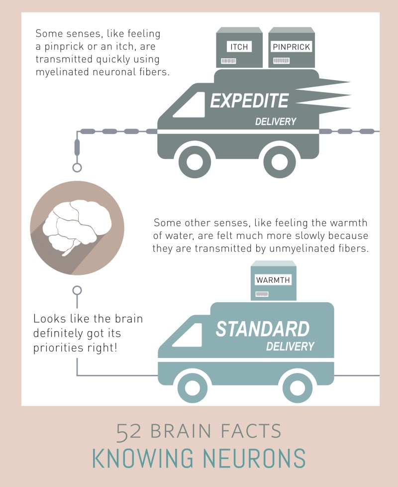 Myth or Fact? Information travels at one speed in your brain.