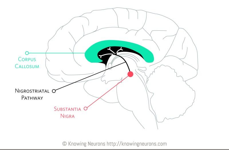 Nigrostriatal Pathway Knowing Neurons