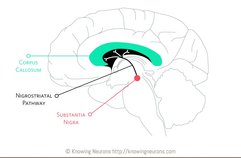 Nigrostriatal Pathway Knowing Neurons