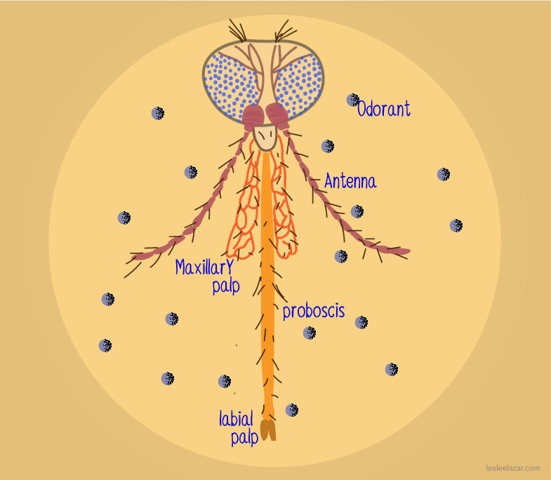 Mosquito Anatomy Knowing Neurons