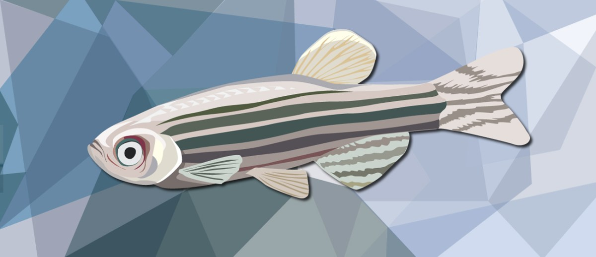 Just Keep Swimming: A Tail of Zebrafish Regeneration