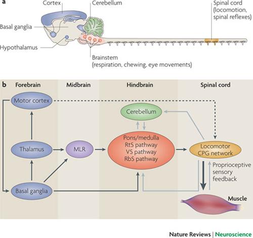 MLR Neuroanatomy Nature Reviews 500