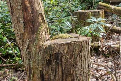 Cut chestnut tree