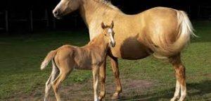 ماذا تسمى انثى الحصان موسوعة مركزي للمعلومات العامه