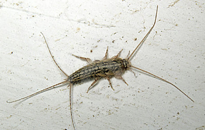 Silverfish Insect  Knowledge Base LookSeekcom