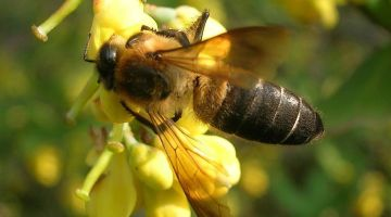 Hallucinogenic Honey That Comes From a Really Big Bee