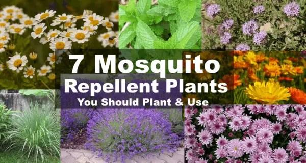 Mosquito repellent plants 7 plants that repel mosquitoes for What plants naturally repel mosquitoes