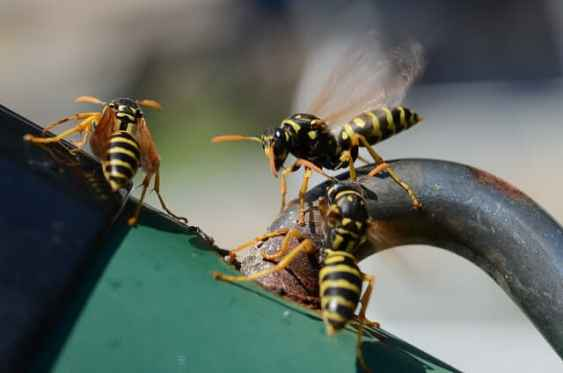 Wasps - how to get rid of wasps?