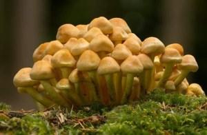 Image of hypholoma cluster