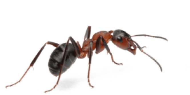 If Fire Ants Sting You Chances Are Ll Know They Attack In Swarms Racing Up Vertical Surfaces Such As Your Leg When Their Nests Disturbed