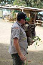 Koala mit Babykoala
