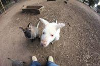 Gierige Wallabys und Albinokängurus