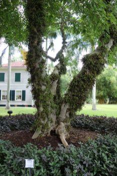 Die Feigenbäume sind noch interessanter. Die Feigen wachsen am Stamm entlang wie kleine Warzen