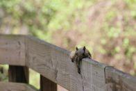 Ein Squirrel relaxt auf dem Geländer