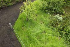 Unglaublich saftige grüne Gräser befinden sich in der Gegend. Auch wenn auf dem Lavagestein nicht viel wächst: Das Gras sieht super aus