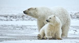 2009-09-17-polarbears_med-2