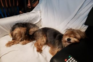 wong dogs ruby and chip sleeping on couch together
