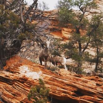 bighorn sheep!