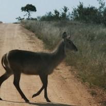 South Africa, Kruger - Safari Animals