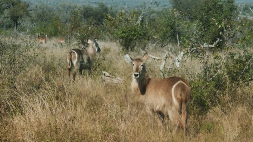 South Africa, Kruger - Safari (8) waterbuck