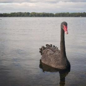Perth #4 Black Swan